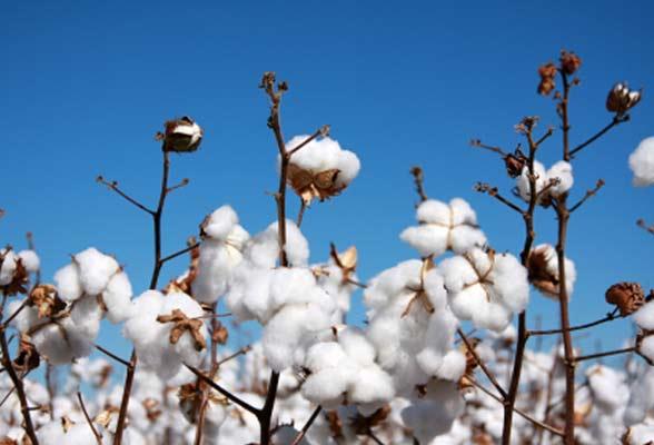 Cultivo de algodón orgánico
