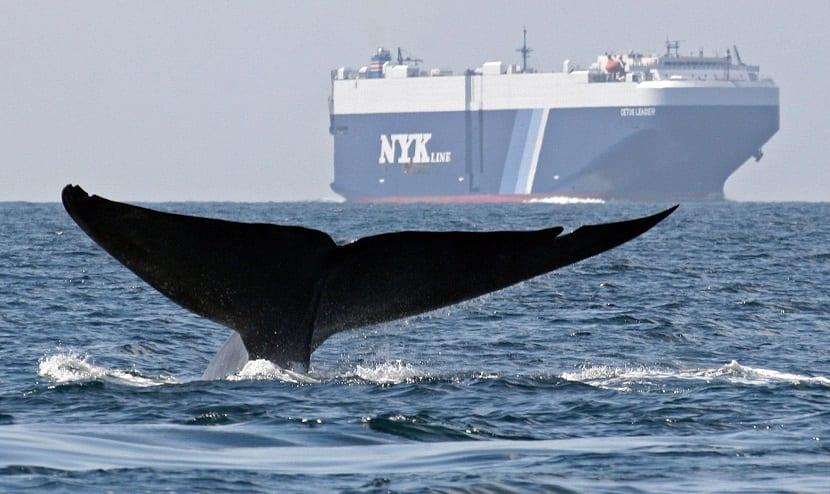 Ballenas en peligro