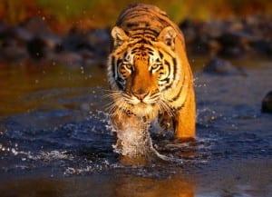 Tigre en Sundarbans