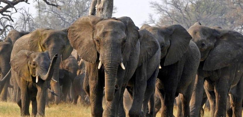 manada-de-elefantes