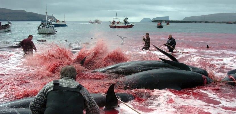 matanza-ballenas