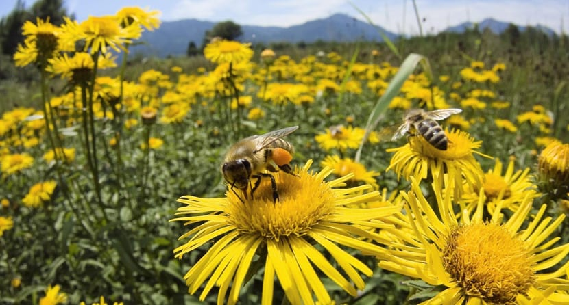 abejas-flores