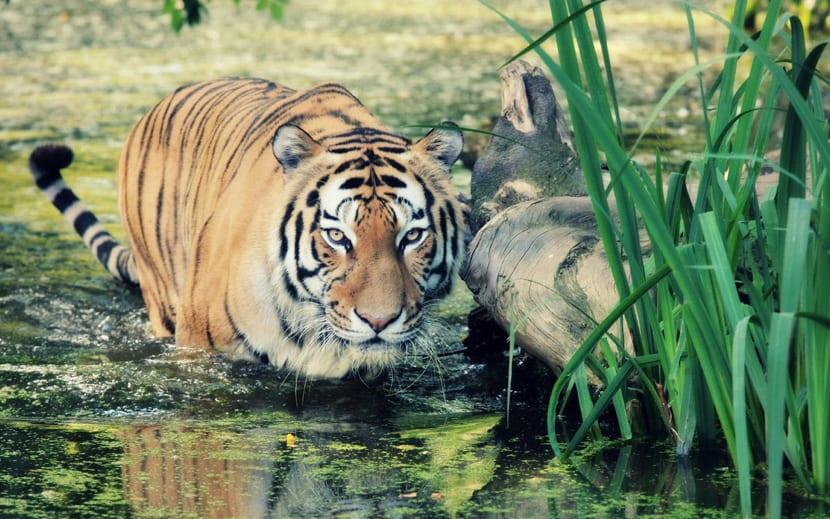 Tigres