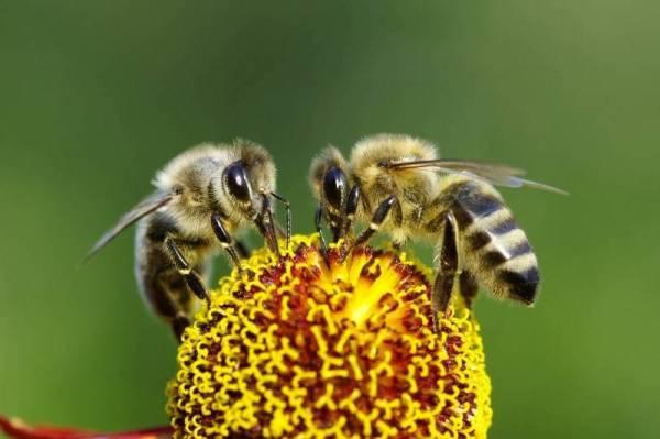 Las abejas polinizan las frutas y verduras