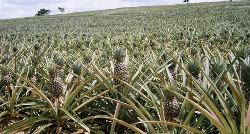 Plantas de piña para sustituir al petróleo