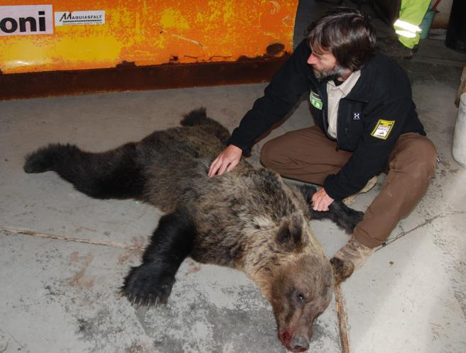 Cadáver de oso pardo en Asturias