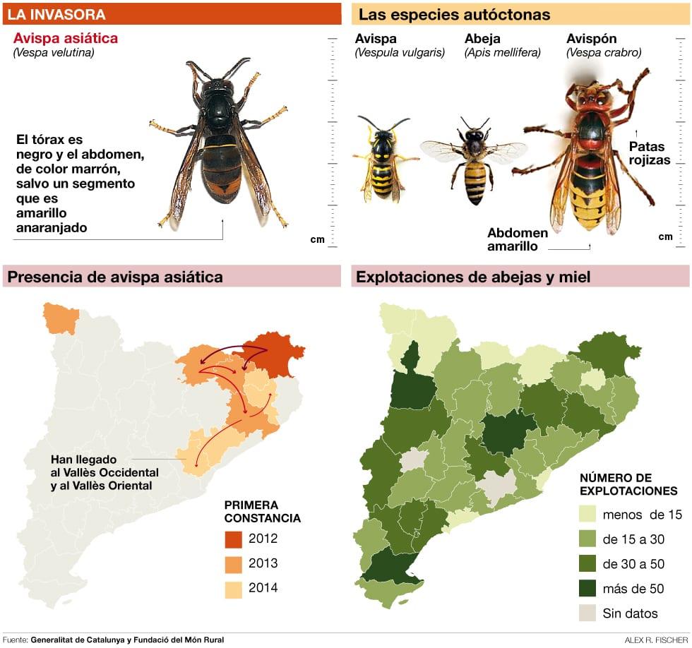 invasion de vespa velutina