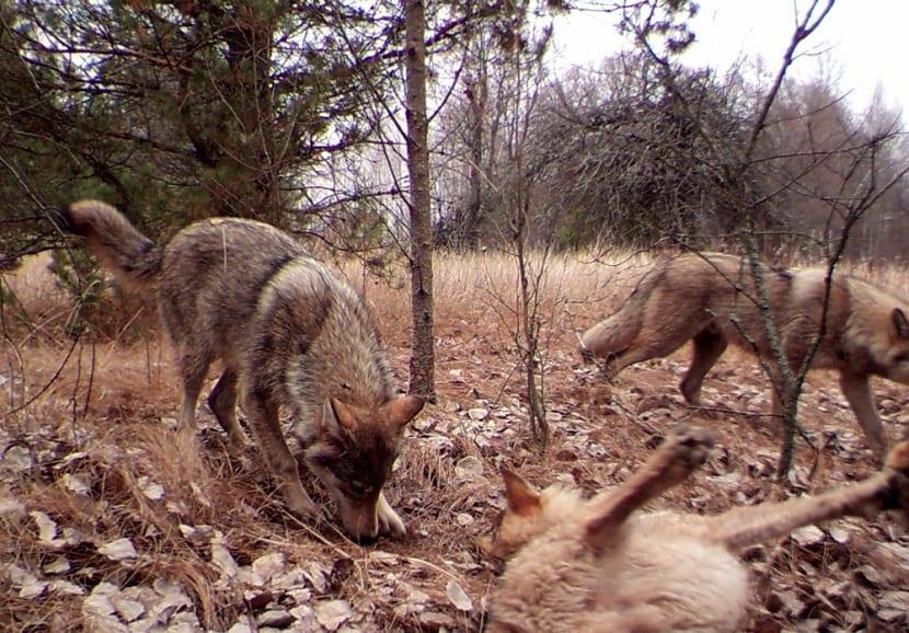 Animales cerca de la central nuclear de Chernobyl.