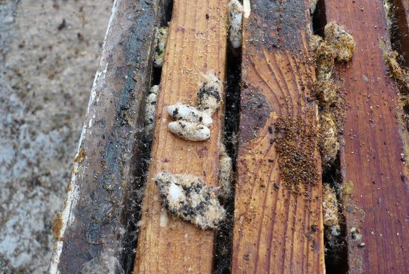 gusanos de cera en colmena