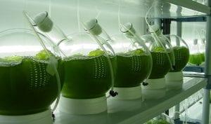 microalgas para descontaminar