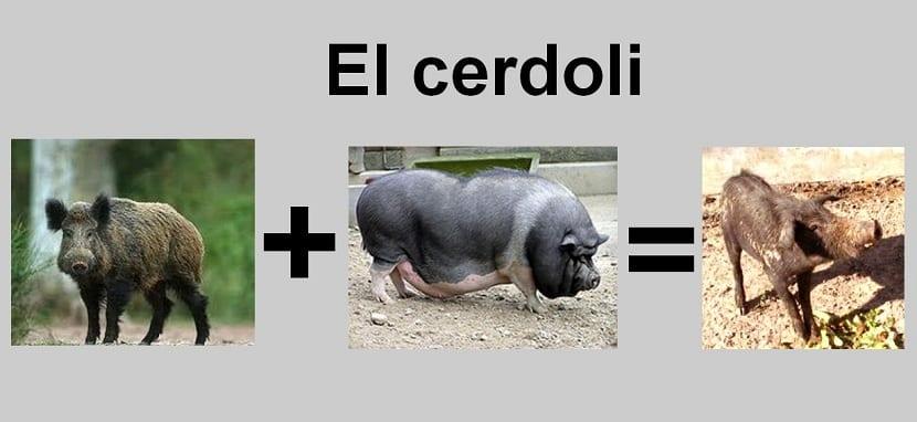 cerdoli