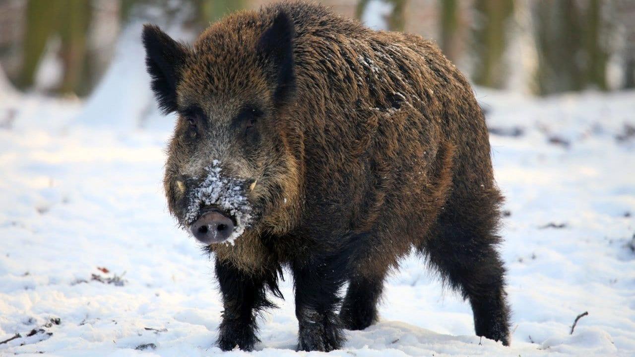 cerdolí, hibrido entre cerdo y jabalí