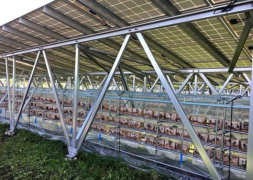 cultivo de hongos en paneles solares
