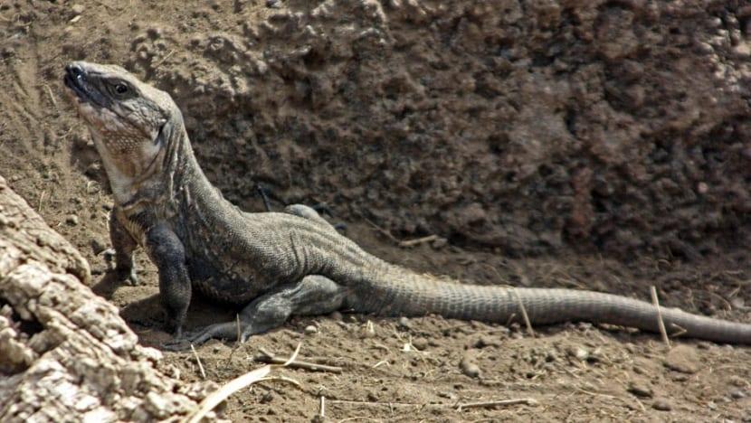 lagarto gigante