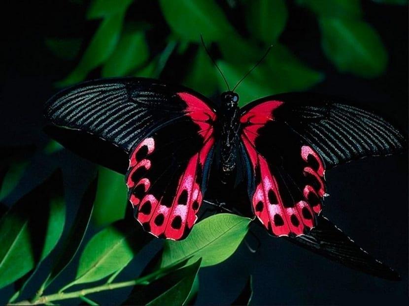 mariposa negra para energias renovables