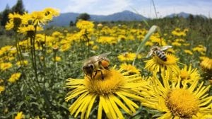 abejas polinizando