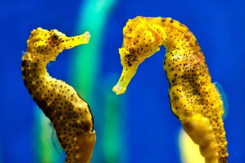 caballitos de mar en extinción