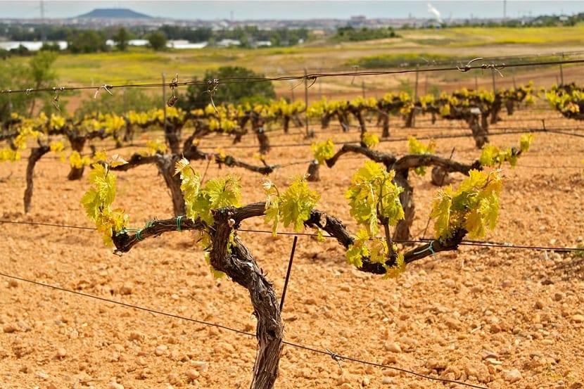 biomasa de viñedos