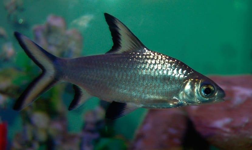 peces que cambian la morfología