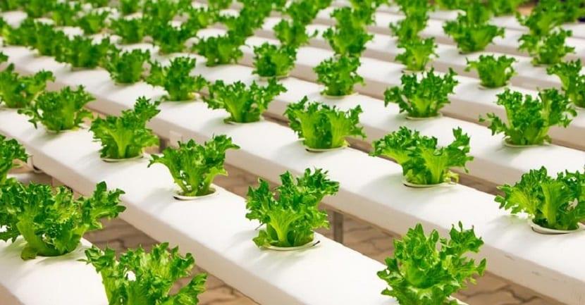 plantas cultivas sin suelo