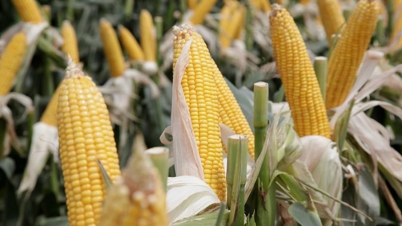 materias primas para el bioetanol