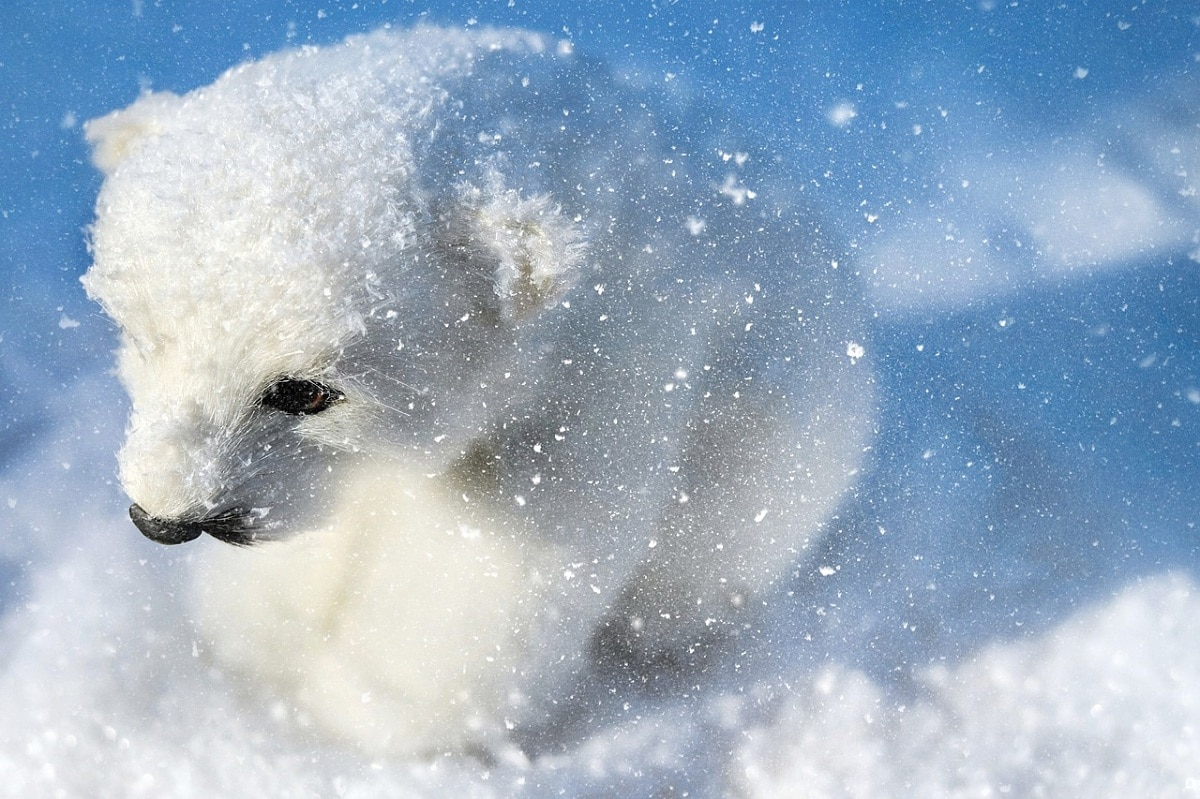El oso polar es un animal en peligro de extinción