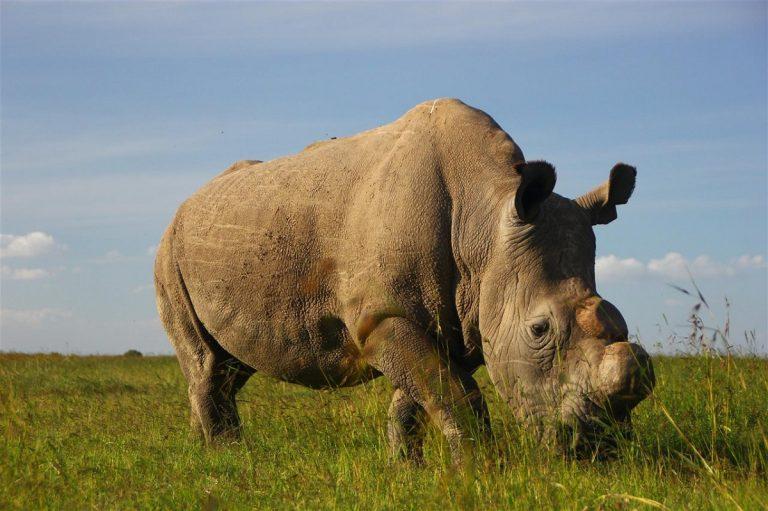 El rinoceronte está en peligro de extinción