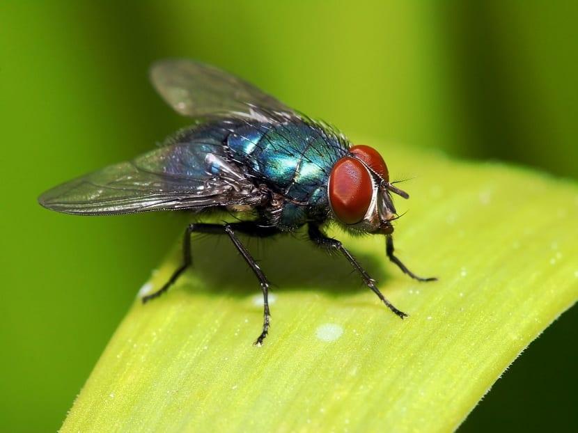 Ciclo de vida de las moscas