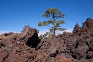 Hábitat del pino canario