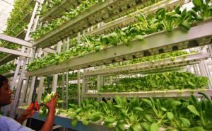 ventajas de agricultura vertical