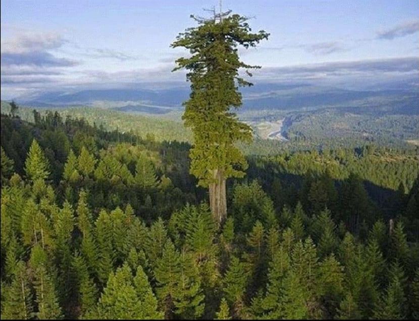 árboles más altos del mundo
