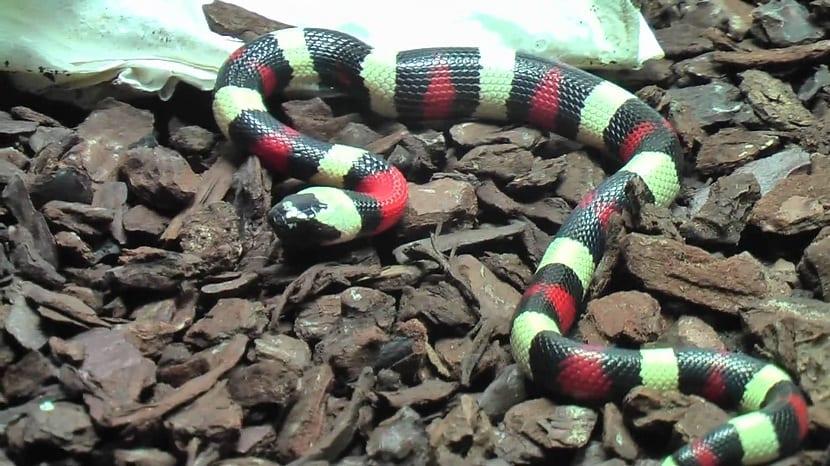 Alimentación de la serpiente de coral