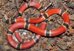 Hoy vamos a hablar de una de las serpientes más famosas de todo el mundo. Se le conoce como la serpiente de coral. Se trata de una de las especies con colores más llamativos entre los que predominan el rojo, el blanco y el negro. Es muy conocida por su veneno letal y por considerarse una de las más temidas en todo el mundo. Por ello, esta serpiente se merece el artículo por completo. Vamos a explicarte todas las características, hábitats, área de distribución, alimentación y reproducción de la serpiente de coral. Características principales A este tipo de serpientede también se le conoce por el nombre de serpiente de rabo de ají o coralillos. Este grupo de serpientes venenosas pertenecen a la familia Elapidae. Proceden de las zonas tropicales donde abundan las altas temperaturas y la alta humedad, acompañado de un régimen de precipitaciones abundantes. A la serpiente de de coral podemos dividida en dos grandes grupos: • Serpientes de coral del viejo mundo: en este grupo pertenecen 16 especies agrupadas en dos géneros diferentes. • Las serpientes de coral del nuevo mundo: a este grupo pertenecen trece de especies que están agrupadas en 3 géneros diferentes. Suele ser una serpiente más pequeña en comparación con otras especies. Como máximo, si su desarrollo es el más óptimo, conseguimos que ni da un metro de longitud cuando alcanza la etapa adulta. Las hembras suelen ser mucho más grandes que los machos, y gracias a ello puede diferenciarse con mayor facilidad. Además de ser de un tamaño pequeño, poseen un cuerpo bastante fino y delgado con un color bastante atractivo. Ninguna serpiente de de coral posee la misma combinación de colores en su piel, lo que hace que sea bastante curiosa. En su cabeza se entremezclan el cuerpo sin que tenga ningún cuello distintivo. Otra de las características de esta serpiente de es que se diferencia de otras especies que son venenosas por tener la pupila de forma circular. Su cabeza es redondeada sin punta y no tienen pozos de detección