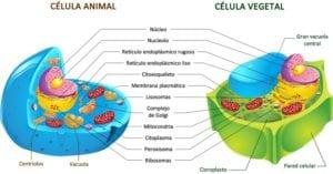Diferencias entre célula animal y vegetal