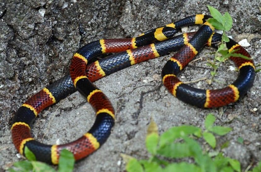 Picadura de la serpiente de coral