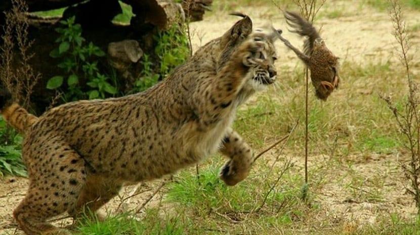 lince iberico cazando