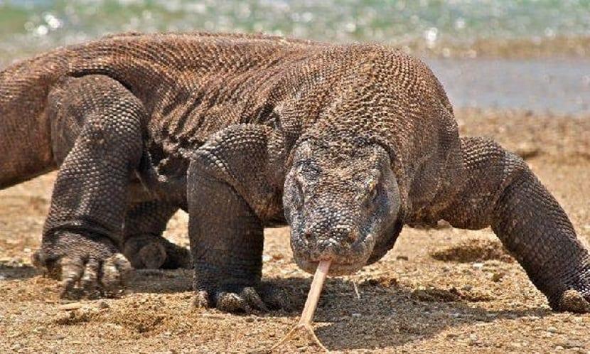 Lengua de dragon de Komodo