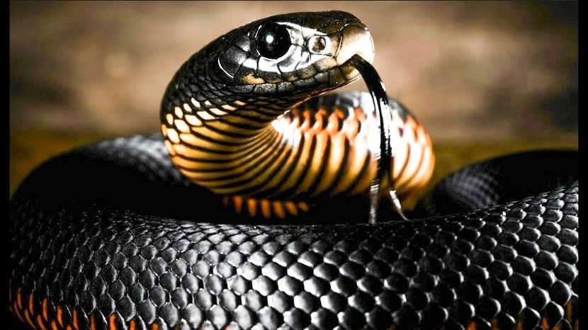 Características. hábitat, reproducción y alimentación de la mamba ...