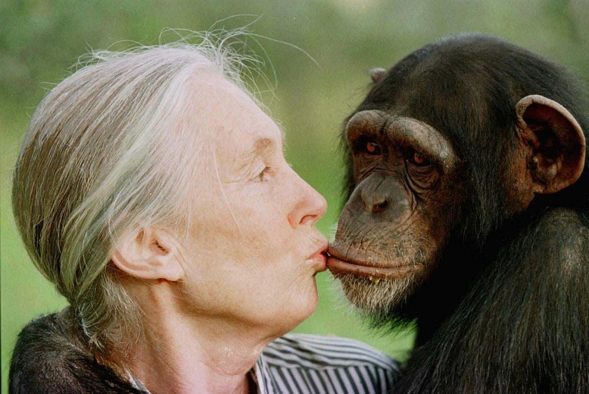 Jane Goodall  y chimpance