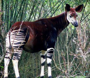 okapi jirafa