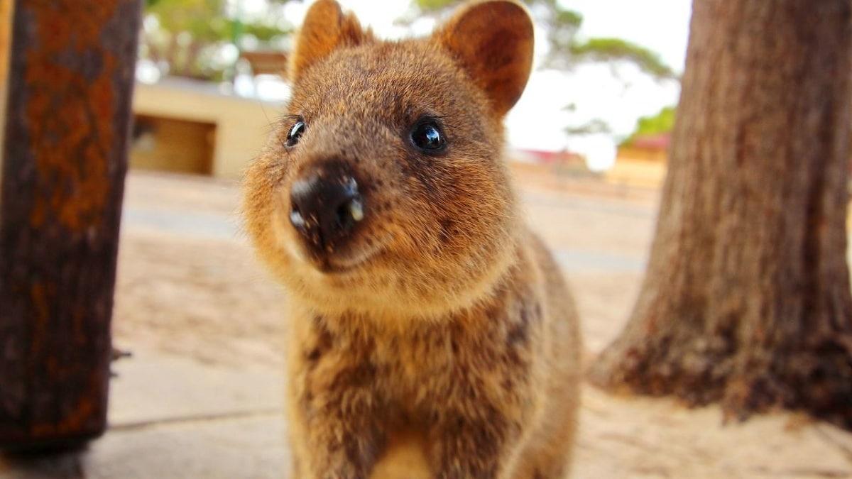 quokka marsupial