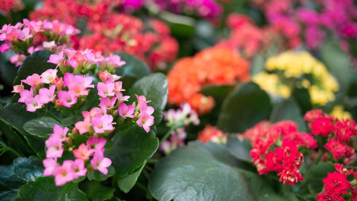 flores del kalanchoe