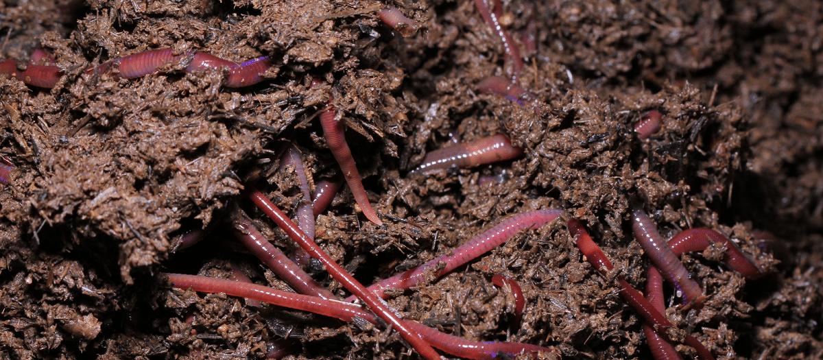 vermicultura