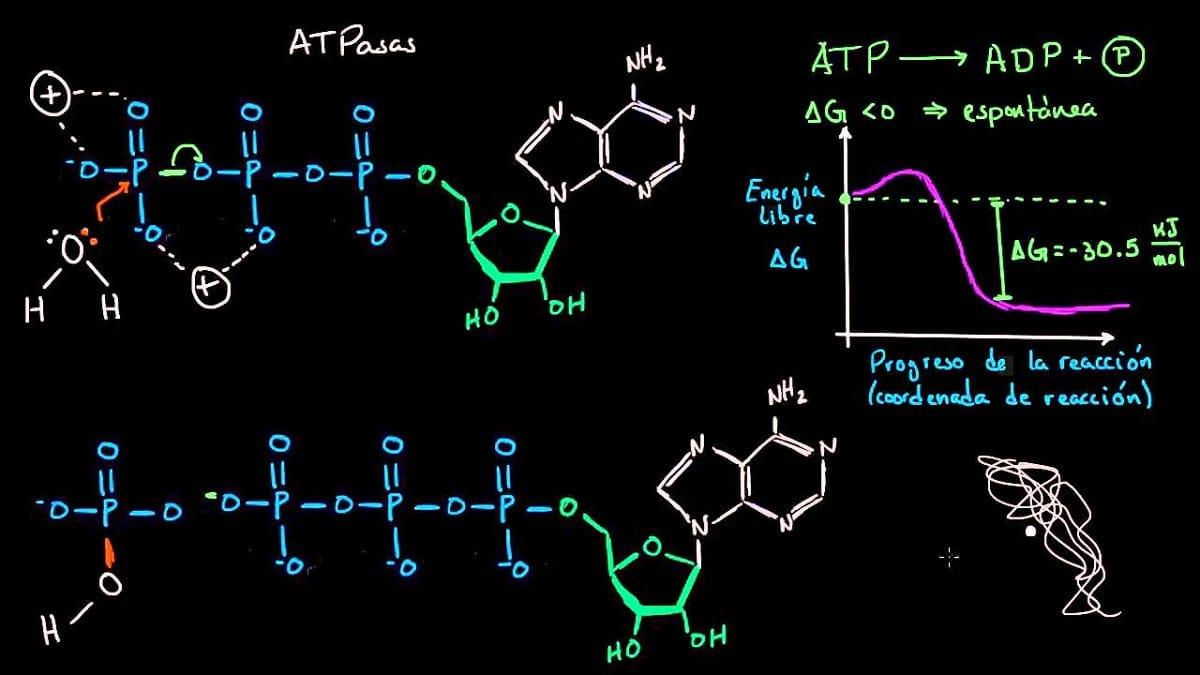 funciones del adenosin