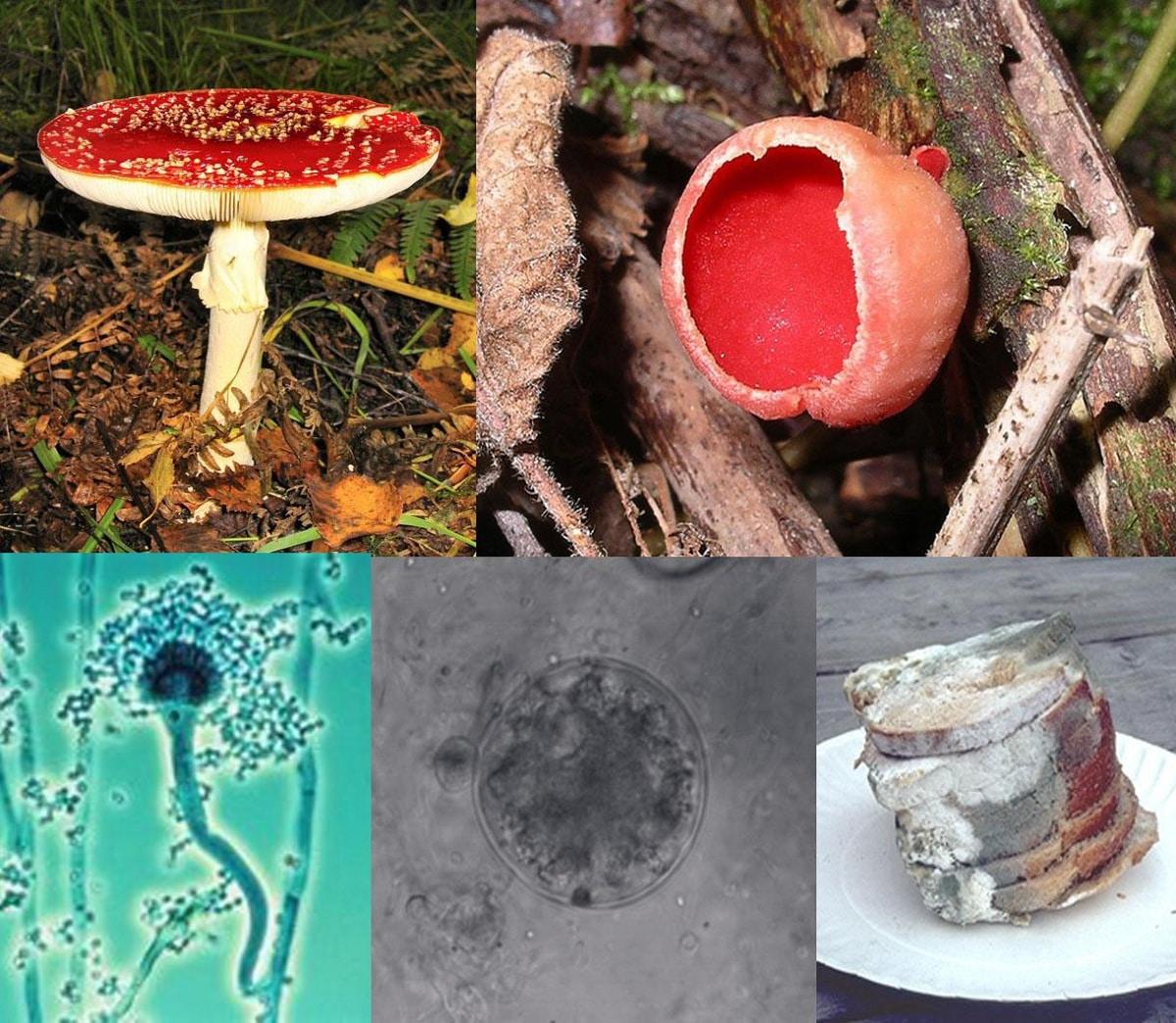 morfologia de los hongos c