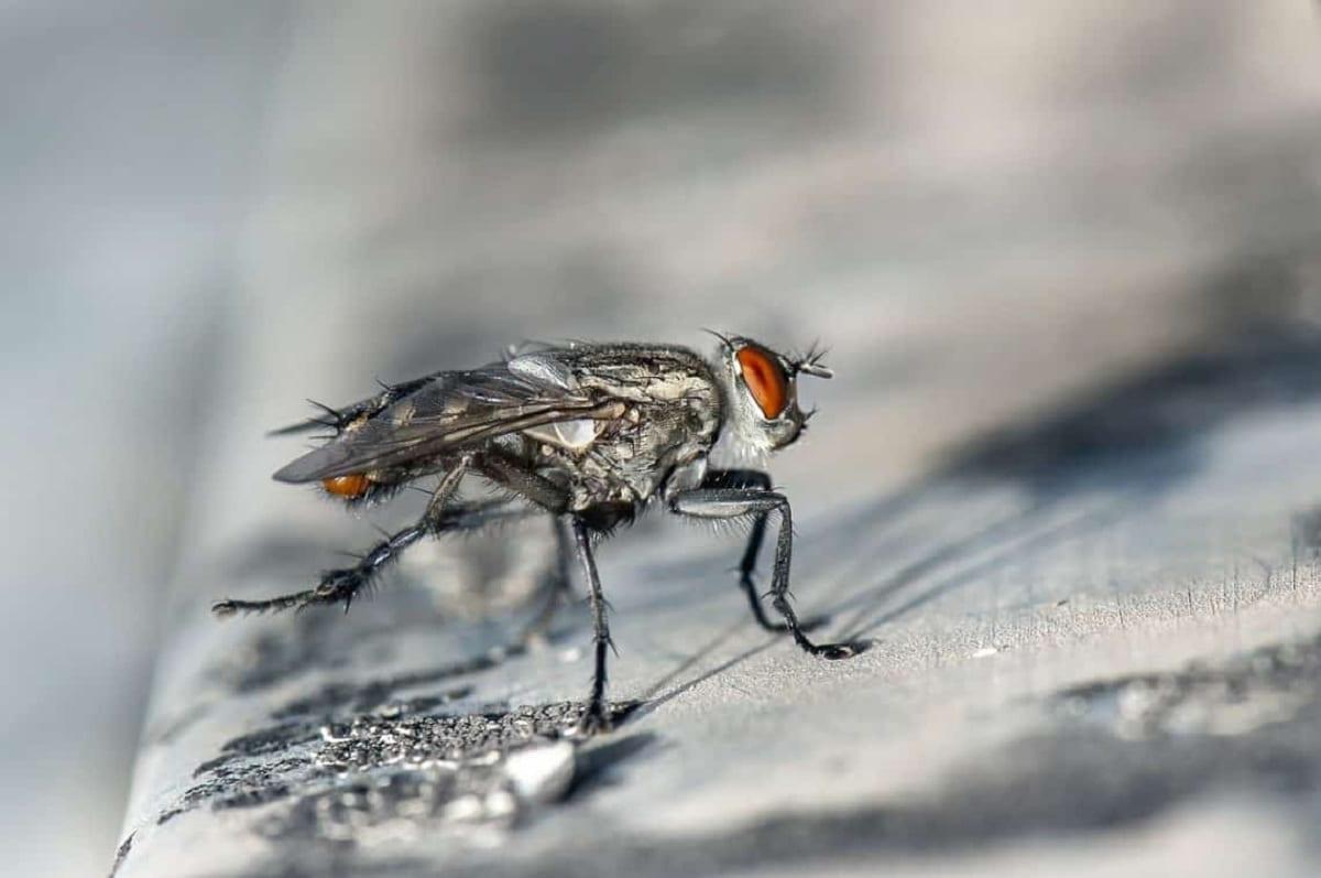 especies de moscas