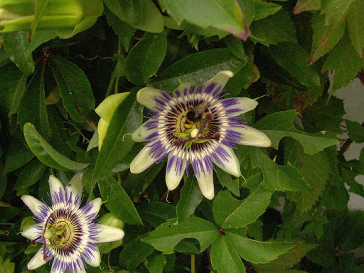 flores de las angiospermas