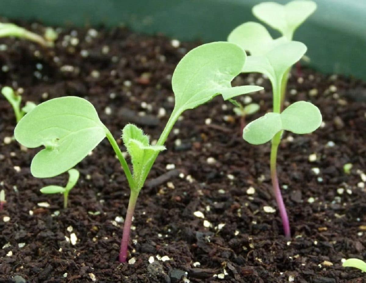plantas que crecen con un cotiledon