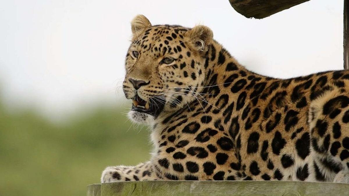 tigres animales depredadores