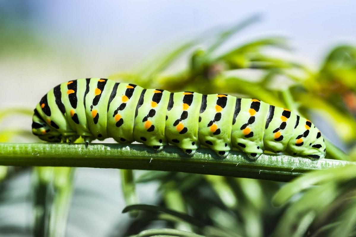 larvas de insectos